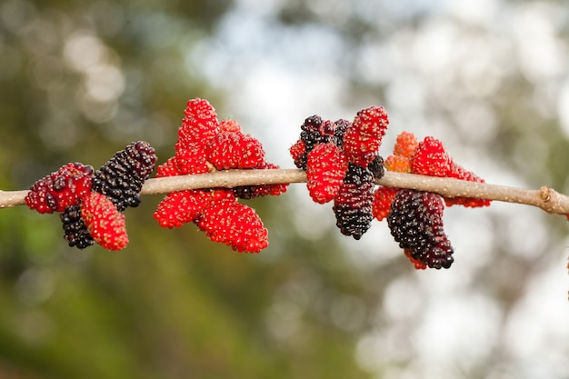 Blackberry ripe, ripening, and unripe green fruits on tree