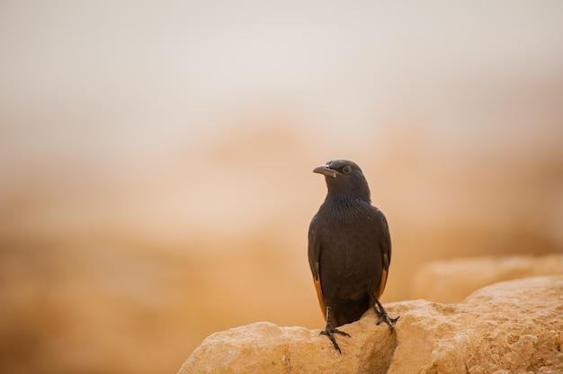 イスラエルの砂漠を背景にしたブラックバード。