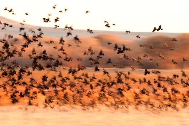 Blackbird flock