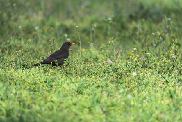 Blackbird on the green grass of the field