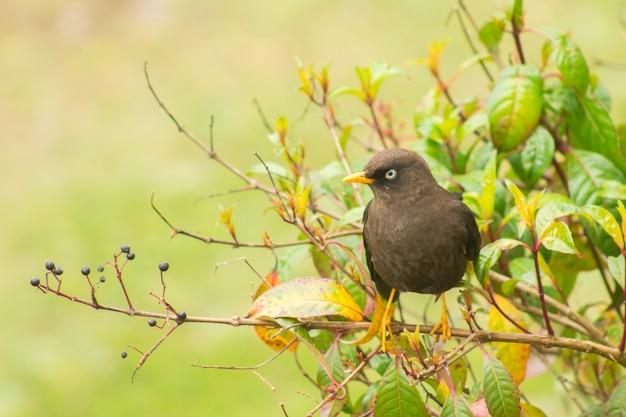 枝のクロウタドリ