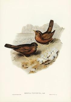 Винообразный blackbird (merula vinitincta), иллюстрированный элизабет гулд