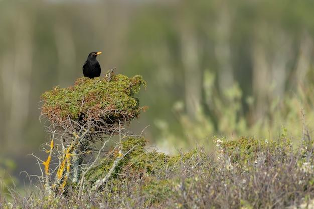 Blackbird appollaiato su un albero con uno sfondo sfocato