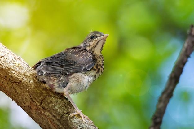 Blackbird rowan on a branch