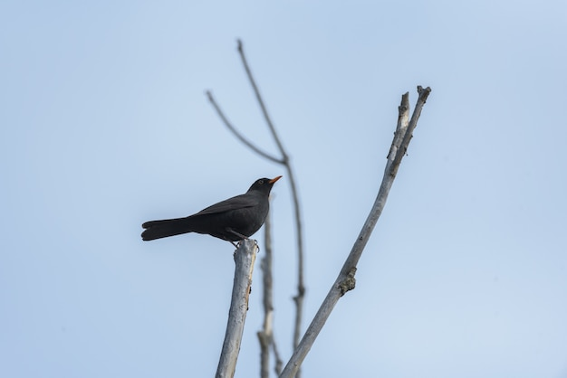 Blackbird on top of a branch with blue sky in the background