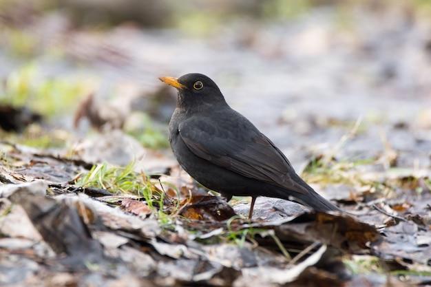 Blackbird on a tree