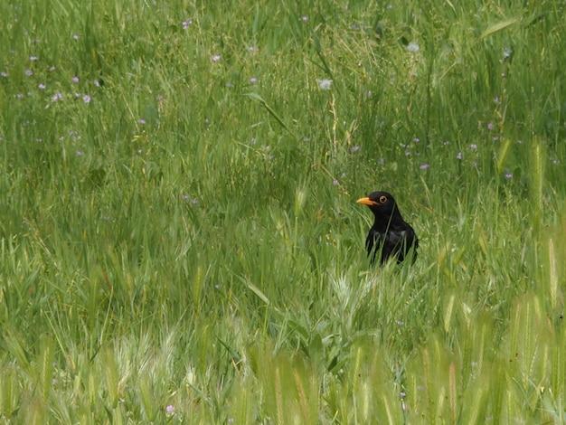 屋外の緑の野原にオレンジ色のくちばしを持つクロウタドリ