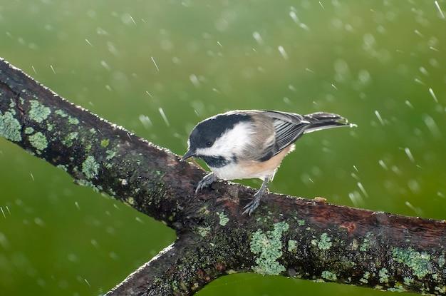 雨の下で木の枝に黒い帽子をかぶったチカディー鳥