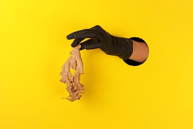 ブラックグローブの手は黄色の背景の穴を通して乾燥したショウガの根を提供します