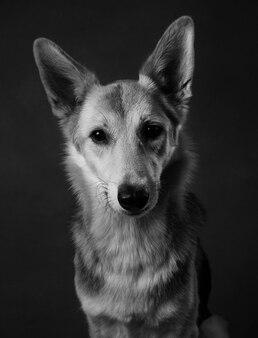 茶色のblackgroundのスタジオに座っているとカメラ目線のグレーと白の雑種犬