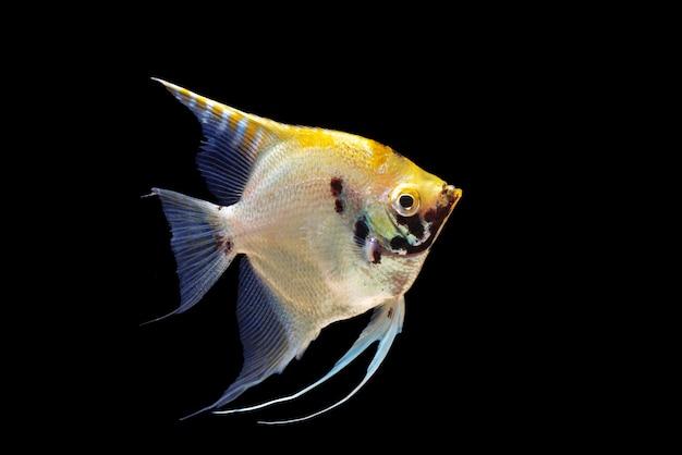 Blackgroundに分離された天使の魚