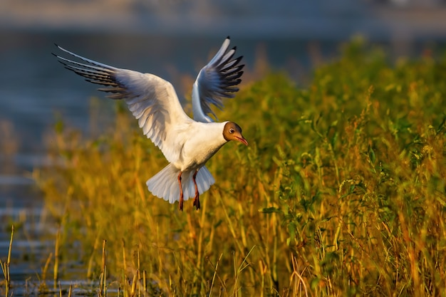Blackheaded gull flying over green vegetation and water during summer evening