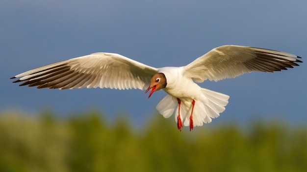 Blackheaded gull with open beak in flight in summer