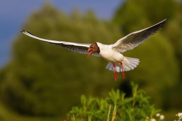 Blackheaded gull with open beak landing in green summer nature