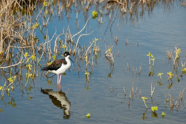 水中の黒い首の鳥