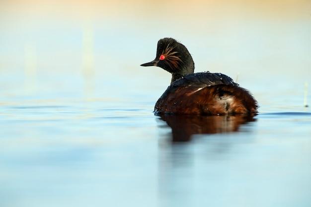 화창한 날에 중앙 스페인의 습지에서 새벽의 첫 빛이있는 검은 목 농 병아리