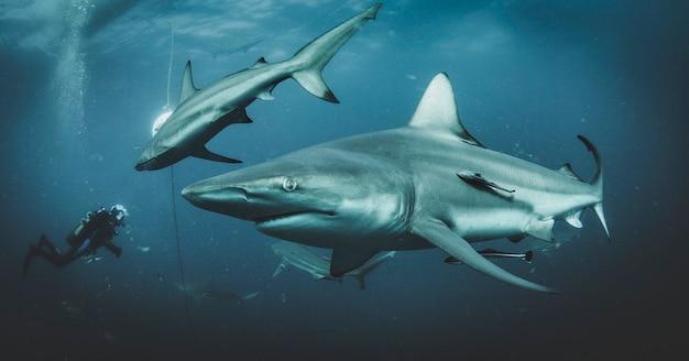 열대 수중에서 헤엄치는 블랙팁 바다 상어. 수중 세계의 상어. 동물의 세계 관찰. rsa의 남아프리카 해안에서 스쿠버 다이빙 모험