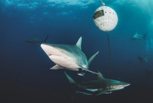 Океанская акула blacktip, плавающая в тропических подводных водах. акулы в подводном мире. наблюдение за животным миром. подводное плавание с аквалангом на южноафриканском побережье юар