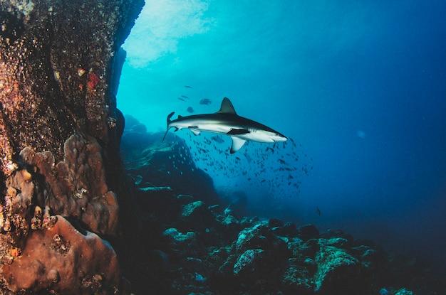 Океанская акула blacktip, плавающая в тропических подводных водах. акулы в подводном мире. наблюдение за животным миром. подводное плавание с аквалангом в тихом океане, побережье галапагосских островов