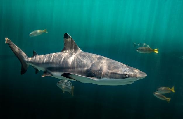 Blacktip reefs shark swimming in deep green water