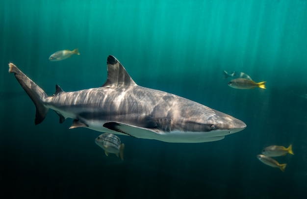 Акула плавает в темно-зеленой воде у рифов blacktip