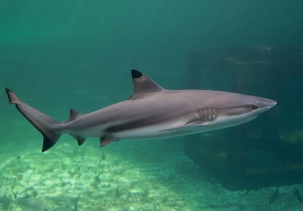 Черное острие рифов, плавание акул.