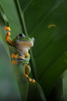Blackwebbed tree frog hanging on a leaf