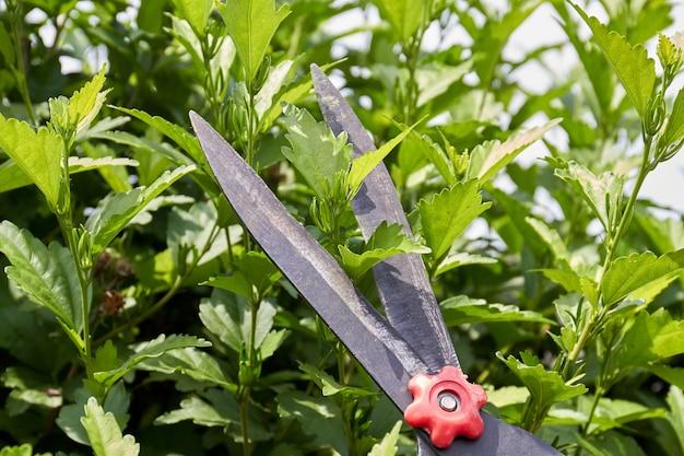 庭のはさみの刃が庭の葉を切ります。クローズアップの緑の植物。