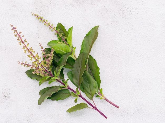 白いコンクリートの背景に設定された新鮮な聖なるバジルの葉のブランチング