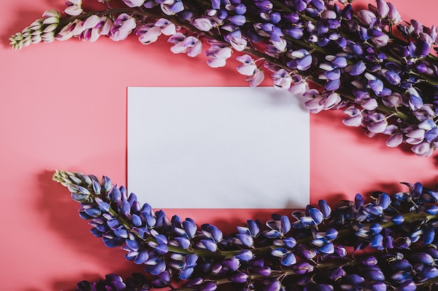 Blank white paper card note with flowers lupine in blue lilac color in full bloom on a pink background flat lay.