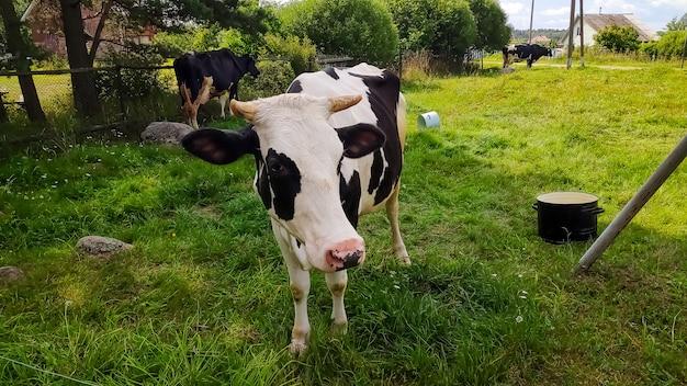 夏の牧草地、村のblckと白い牛。コンセプトテーマ:農業。自然。気候。エコロジー。食料生産。自然のオーガニック食品。農業農場の動物