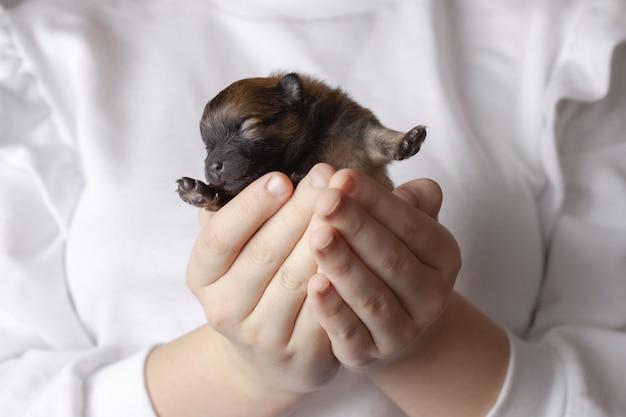 손에 맹인, 신생아 포메라니안 강아지