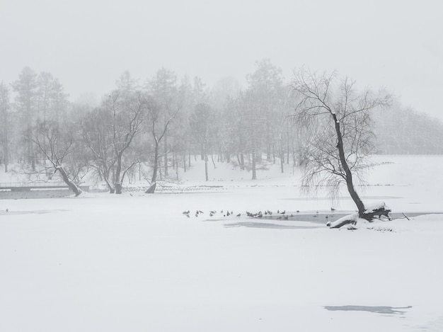 Blizzard in the winter park. tall trees under snow cover. minimalistic winter landscape.