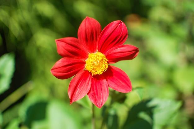 Красивый милый красный цветок в саду, крупным планом, летний сезон blloming