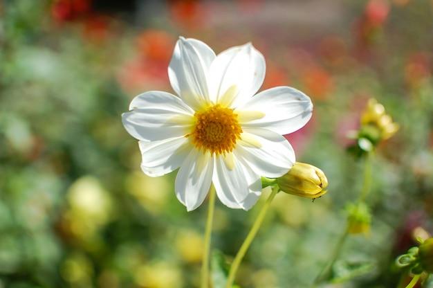 Красивый милый белый цветок в саду, крупным планом, летний сезон blloming