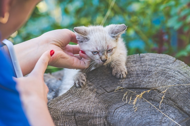 The blogger removes a blue colored  eyes thai kitten in the garden on the phone
