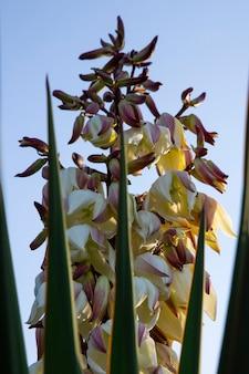 Цветение штыка юкка цветы на дереве, крупным планом белые цветы куста юкка filamentosa, цветение белых цветов игольчатая пальма.