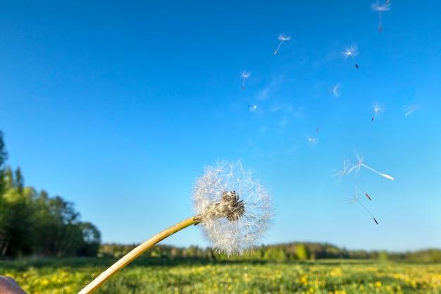 Блум голова цветка одуванчика с летающими семенами в ветер на поле