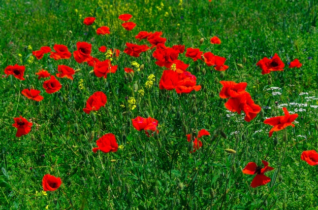 Bloom wild red poppy flowers with a nice blur bokeh in the background of green grass.