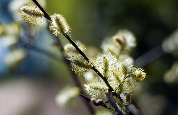 이른 봄에 꽃 버드 나무. 알레르기 싸움 개념.