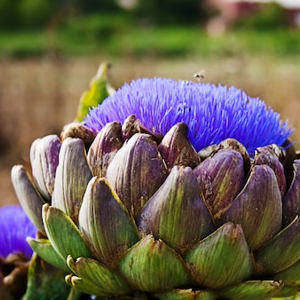 Bloomed artichokes with bee looking for food