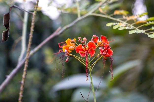 피 화려한 빨강 노랑 난쟁이 poinciana 꽃 가까이보기