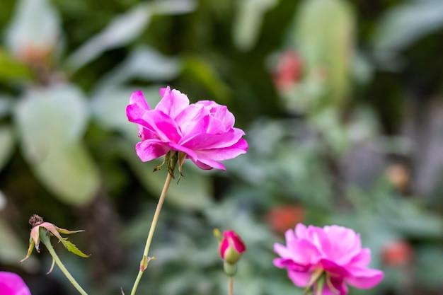 꽃이 만발한 핑크 장미 꽃 봉오리가 정원에서 측면보기를 닫습니다.