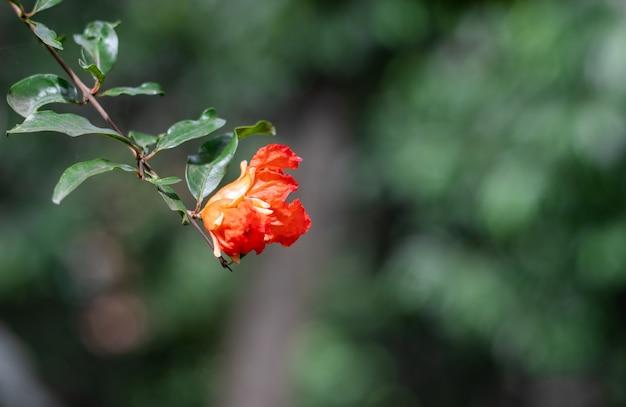 꽃이 만발한 석류 꽃은 잎 선택적 초점이 있는 나뭇가지에 닫힙니다.