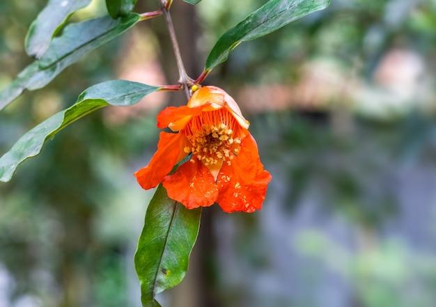 집 정원에 푸른 잎이 있는 붉은 석류 꽃