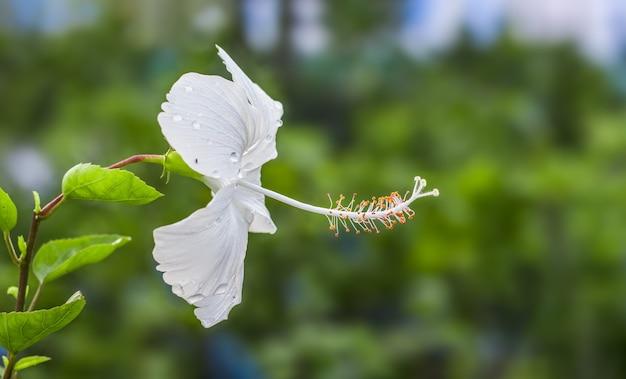 흐릿한 배경에 흰색 히비스커스 로사 시넨시스 또는 중국 장미 꽃이 피었습니다