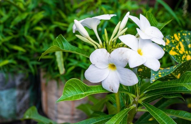 庭の木に咲いた白いプルメリアの花