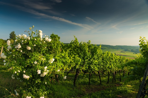 Bloomed white rose bush in the vineyard in the hills at sunset