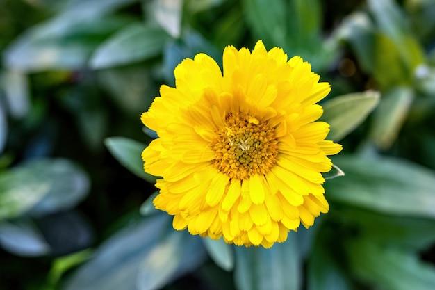 부드러운 bokeh 배경에 노란색 금 송 화 꽃을 피