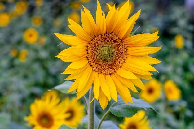 정원에서 피는 노란 해바라기 가까이 배경